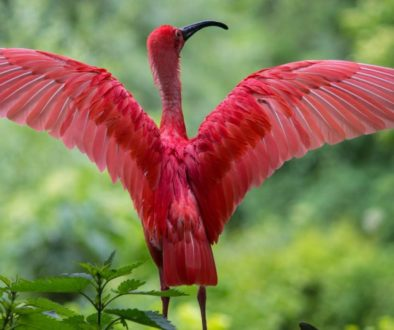 ibis-bird-red-animals-158471